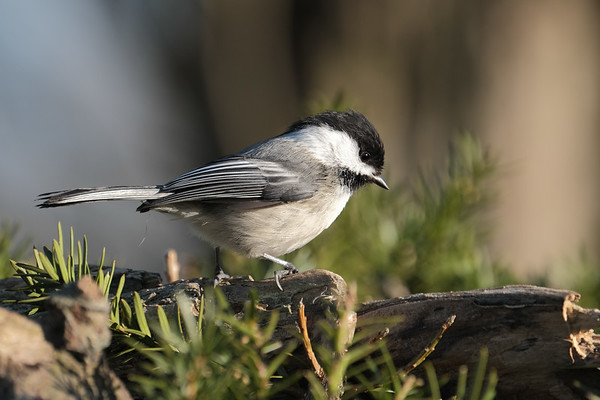 May 20 2020 - Chickadee