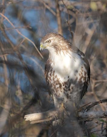 May 1 2020 - Hawk