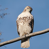 May 7 2020 - Red Tail Hawk
