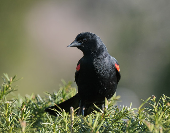May 16 2020 - Red Winged Blackbird