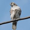 May 13 2020 - Red Tailed Hawk