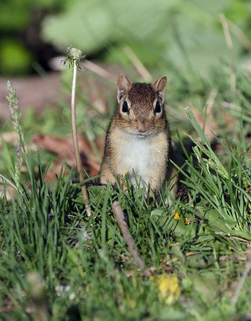 May 27 2020 - Chipmunk