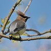 May 12 2020 - Cedar Waxwing