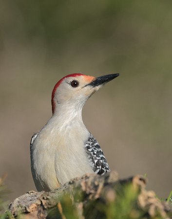 May 31 2020 - Red Bellied Woodpecker