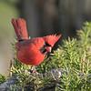 May 8 2020 - Cardinal