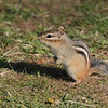 May 17 2020 - Chipmunk