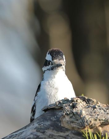 May 6 2020 - Downy Woodpecker