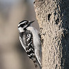 May 19 2020 - Downy Woodpecker
