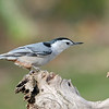 November 29 2020 - White Breasted Nuthatch