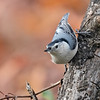 November 25 2020 - White Breasted Nuthatch