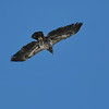 November 30 2020 - Immature Bald Eagle