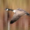 November 19 2020 - Canada Goose