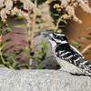 November 28 2020 - Downy Woodpecker