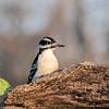 November 20 2020 - Downy Woodpecker