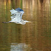 October 26 2020 - Great Blue Heron