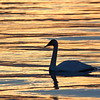 October 22 2020 - Swan