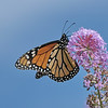 October 24 2020 - Monarch Butterfly