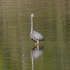 October 20 2020 - Great Blue Heron