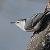 October 18 2020 - Nuthatch