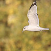 October 27 2020 - Ring-Billed Gull
