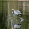 September 30 2020 - Great Blue Heron