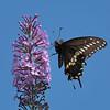 September 19 2020 - Swallowtail Butterfly