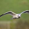 September 23 2020 - Ring Billed Gull