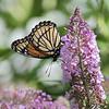September 22 2020 - Viceroy Butterfly