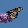 September 26 2020 - Monarch Butterfly
