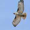April 13 2021 - Red Tail Hawk