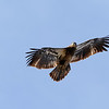 April 8 2021 - Bald Eagle