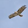 April 25 2021 - Red Tail Hawk