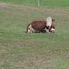 April 22 2021 - Cow