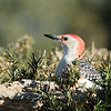 April 26 2021 - Red Bellied Woodpecker