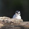 April 23 2021 - Downy Woodpecker