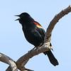 April 10 2021 - Red Winged Blackbird