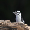 April 19 2021 - Downy Woodpecker