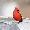 April 5 2021 - Northern Cardinal