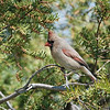 April 29 2021 - Northern Cardinal (Female)