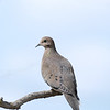 April 15 2021 - Mourning Dove