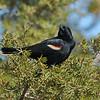 April 4 2021 - Red Winged Blackbird