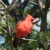 April 28 2021 - Northern Cardinal