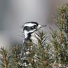 February 17 2021 - Downy Woodpecker