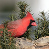 February 27 2021 - Northern Cardinal