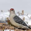 February 23 2021 - Red Bellied Woodpecker
