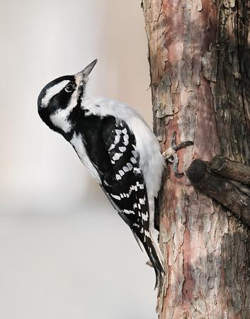 February 25 2021 - Downy Woodpecker