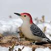 February 19 2021 - Red Bellied Woodpecker