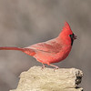 January 23 2021 - Cardinal