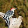 January 28 2021 - Red Bellied Woodpecker