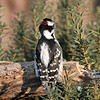 January 25 2021 - Downy Woodpecker